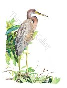 "Tricolored Heron [also called the Louisiana Heron] 12""x20"""
