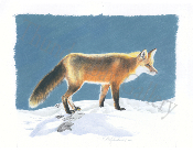 "Red Fox in Winter 12.5"" x 15"""