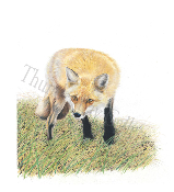 "Xena-Red-Fox - 10.5""x11.7"""
